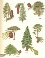 Виды шишек хвойных деревьев фото – Хвойные деревья – фото и названия